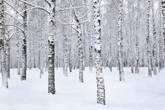 Birke Baum Wald im Winter Wandbild repositionierbar von StyleAwall