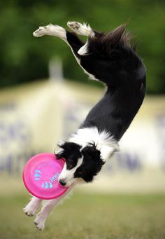 A border collie catches a frisbee during the Skyhoundz Disc Dog European Championship competition in Budapest, Hungary.  By Bela Szandelszky