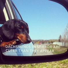 #Dachshunds in mirror are cuter than they appear. | Flickr - Photo Sharing!