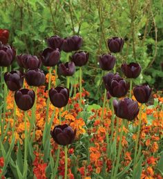 Tulipa 'Queen of Night' underplanted by Erysimum 'Apricot Twist'