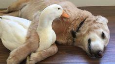 Rudy e Barclay, la storia dell'amicizia tra un cane e un'anatra