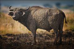 Büffel buffalo by Urs Schmidli - Photo 100232393 - 500px