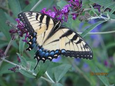 Butterflies: Butterfly Facts and Butterfly Pictures