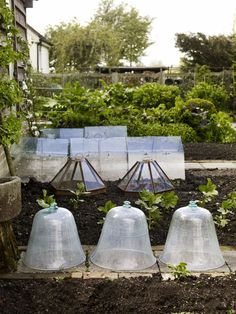 These large cloches made me think:  would large plastic bins work?  They'd sure be cheaper!