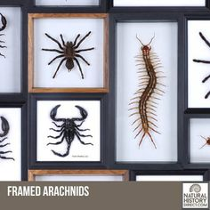 Framed Arachnids - Shop the collection, website updated daily, click here now www.NaturalHistoryDirect.com