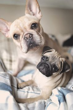 The two together, what a perfect shot. #pug #frenchie
