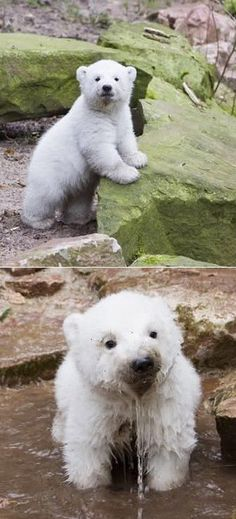 Baby Polar Bears #polarbears Visit our page here: http://what-do-animals-eat.com/polar-bears/