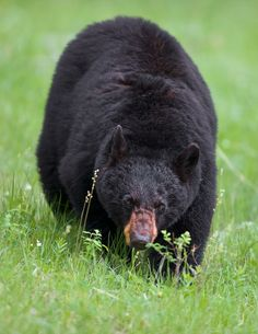 Black bear, beginning to stalk the photographer, Buck Shreck