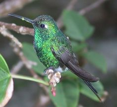 The Cuban emerald (Chlorostilbon ricordii) is a species of hummingbird in the Trochilidae family. It is found in a wide range of semi-open habitats in Cuba and the Bahamas. This bird is known locally as zun-zun, and can be observed to be feeding throughout the day, perching on a wire to rest.