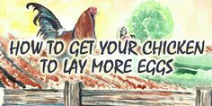 How to Get Your Chicken to Lay More Eggs | Survival Sullivan