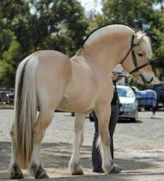 Fjord horse - Cookie #Fjord #horses