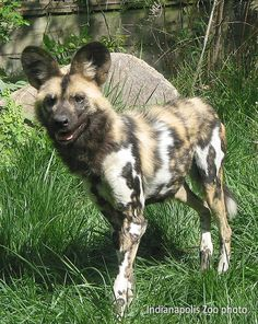 "African Wild Dog. The latin name for wild dog means ""painted wolf"" and each animal has its own unique coat pattern."