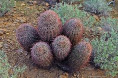 Ferocactus cylindraceus, 'barrel cactus', in habitat, usually grow as single heads, these are individual plants growing as a group.