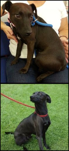 Whippet x Patterdale