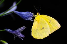 Types of Butterfly with Funny Facts - Butterflies play an important role in pollinating the plants, flowers and vegetables that we need on the earth. There are so many types of butterflies and many have unique ways of surviving.