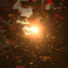 Rain and Sunshine in the evening  #Sunset #sunlight #sunshine #rain #sunrays #summer #spring #2016 #nature #outdoors #sonnenstrahlen #sonnenuntergang #regen #haselnuss #haselnussbaum #hazelnut #tree #leaves