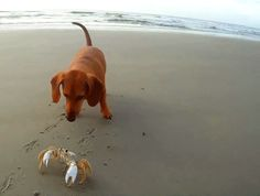 Find latest crabs GIFs,dog s GIFs,dachshund s GIFs,dog GIFs,roll over GIFs,cuteness GIFs,puppies GIFs,dachshund GIFs on http://www.primogif.com