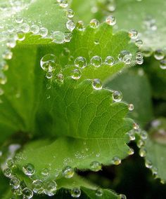 (kerovous:      Dew Drops by Nancy Chow on Flickr.
