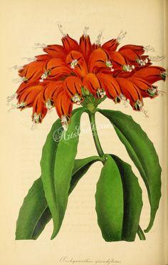 Great-flowered Aeschynanthus, aeschinanthus grandiflorus      ...