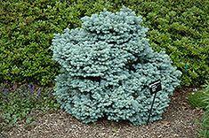 Thume Blue Spruce (Picea pungens 'Thume') at Shelmerdine Garden Center