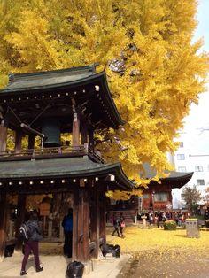 【明日19日までやな!】大イチョウの紅葉ピーク in 飛騨国分寺  本日11月18日(火)の飛騨国分寺の大イチョウの様子です。  大イチョウの紅葉は、散り方から察するに本日18日と明日19日(水)までです。 (20日も見れると思いますが、かなり寂しい状態だと思います。)  #takayama #japan #日本 #高山#natural #自然 #ナチュラル #outdoor#autumn #autumnleaves#紅葉 #gingko #observation #observe #飛騨国分寺の大イチョウ #イチョウ #銀杏 #巨樹 #秋 #巨木