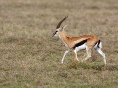The Thomson's gazelle (Eudorcas thomsonii) is one of the ...