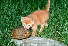 Box turtle hides from the interest of the  kitten . . .