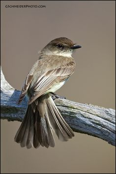 The Eastern phoebe - Sayornis phoebe, is a small passerine bird. This tyrant flycatcher breeds in eastern North America, although its range ...@@