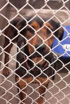 10/22/14- ODESSA SUPER URGENT! Owner Surrender! Rotti female 1-2 years old Kennel A21 Available NOW**** $51 to adopt Located at Odessa, Texas Animal Control. Must have a valid Drivers License and utility bill with matching address to adopt. They accept Credit Cards, cash or checks. We ARE NOT the pound. We are volunteers who network these animals to try and find them homes. Please send us a PM if we can answer any questions for you.