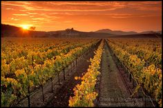 Carneros Napa Valley Vineyard sunset, California ...can't wait to visit napa valley some day!