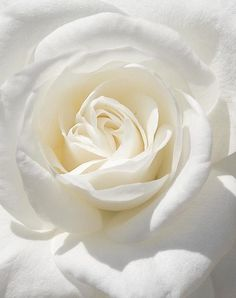 White rose, special to me...
