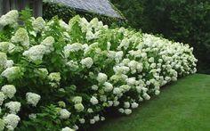 Hydrangea Paniculata 'Limelight', September | 2015 | Christina Wilcomes Interiors and Decoration