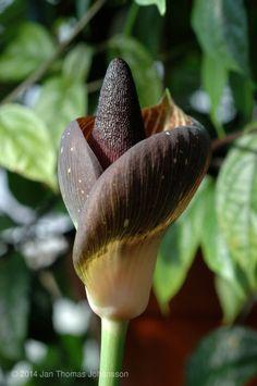 Аморфофаллус, или лилия Вуду. Аморфофаллус (Amorphophallus) - необычное и эффектное растение из семейства Ароидных,  растёт в тропических и субтропических зонах, от Западной Африки до тихоокеанских островов. Большинство видов аморфофаллуса – эндемиками. В природе Аморфофаллус растёт преимущественно во вторичных лесах, встречается также на на известняковой почве и в сорных местах. Фото: © Jan Thomas Johansson