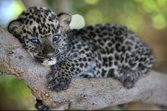 cheetah baby\