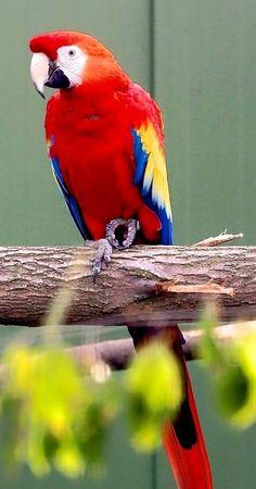 Pappagallo Ara Macao - Scarlet Macaw