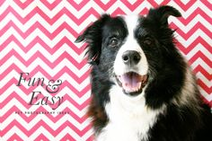 5 Fun & Easy Home Pet Photography Ideas - Photography, Landscape photography, Photography tips Pet Photography Tips, Animal Photography, Easy Pets, Black Lab Puppies, Corgi Puppies, Dog Grooming Business, Pet Photographer, Blue Merle, Exotic Pets