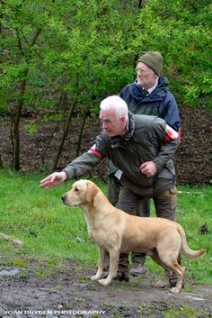 Labrador in a working test