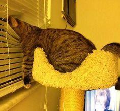 Cat looking through #venetian #blinds