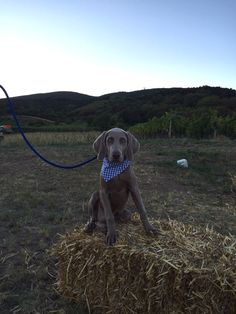 blue Henry  #weimaraner #weimsterest #puppy #henry Weimaraner, Labrador Retriever, Puppies, Dogs, Cute, Animals, Labrador Retrievers, Cubs, Animales