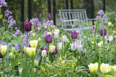 "Tulips, purple, white, ""Spring Green"""