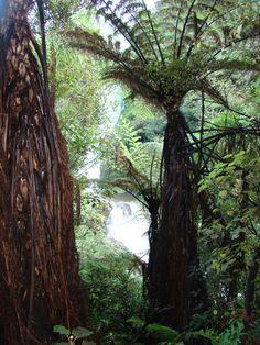 Ponga tree ferns