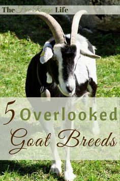 Everyone knows the big meat and dairy goat breeds like Saanen and Boer, but here are 5 overlooked goat breeds that may be just right for your homestead!