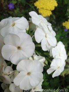 Garden phlox in white, www.purplepottingshed.com