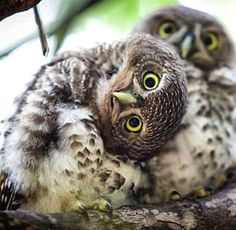Hello, little owl! Owl Photos, Owl Pictures, Animals And Pets, Baby Animals, Cute Animals, Beautiful Owl, Animals Beautiful, Great Grey Owl, Owl Bird