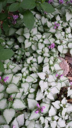 Beacon Silver Spotted Dead Nettle (Lamium maculatum 'Beacon silver')