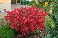 garden shrubs and trees Red Shrubs, Trees And Shrubs, Planting Shrubs, Garden Shrubs, Types Of Soil, Types Of Plants, Euonymus Alatus Compactus, Flora, Gardens