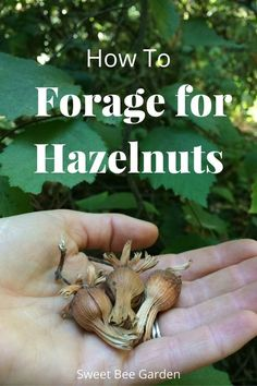 Wild hazelnuts make a great trail snack when out hiking! Learn how to identify and the best time to look in this guide on foraging for hazelnuts.