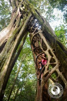 Ficus tree Monteverde Costa Rica by ACruisingCouple, via Flickr