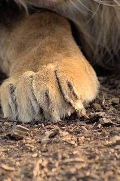 Male Lion Paw by Mrshutterbug.com, via Flickr