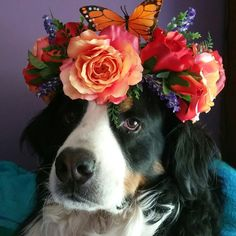 Peaches and Cream Faerie Flower Crown by Fiorenchantment (model Huckleberry the Bernese Mountain Dog)
